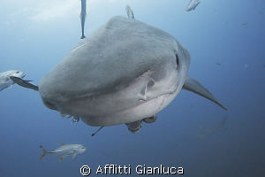 face to face with tiger shark by Afflitti Gianluca 